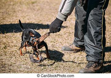 Miniature Pinscher Dog Training. Biting Zwergpinscher, Min...