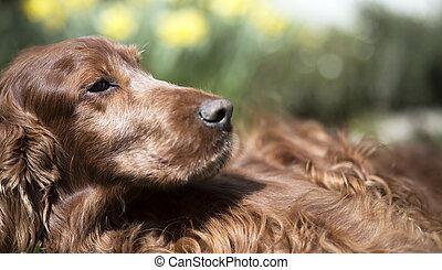 Dog website banner - Website banner of a beautiful Irish...