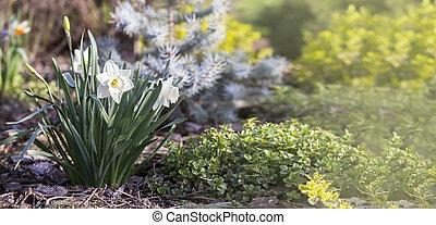 Easter daffodil flower banner