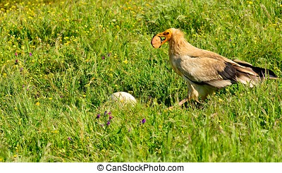 Egyptian vulture with a stone in its beak. - Egyptian...