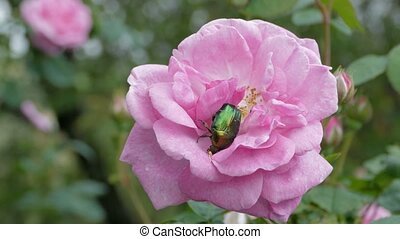 Green Beetle Cetonia Aurata On Pink Flower At Summer, Close...