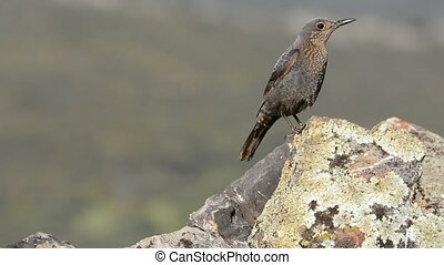 Young blue rock thrush on rocks. - Close-up of young blue...