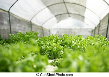 Hydroponic lettuce in farm