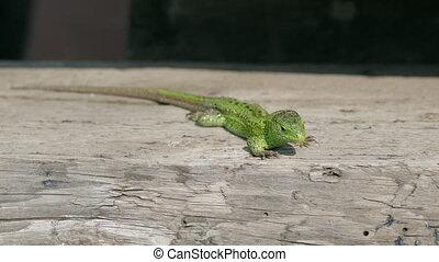 Sand Lizard, Lacerta Agilis Basking In The Sun
