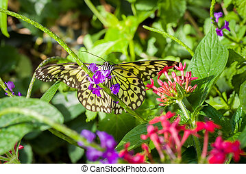 Paper Kite Butterfly - Paper Kite butterfly resting on...
