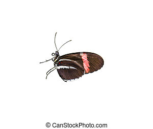 Doris Longwing Butterfly - Colorful Doris Longwing butterfly...