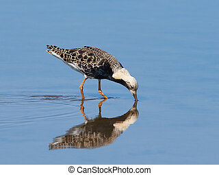 Ruff Philomachus pugnax - Ruff standing in water looking for...