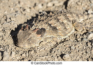 Horned lizard camouflaged on ground - Macro closeup of...