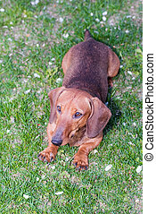 dachshund dog brown - breed dachshund dog is at home on...