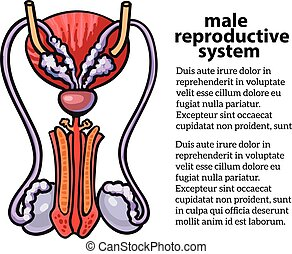 Male reproductive system, vector sketch hand-drawn...