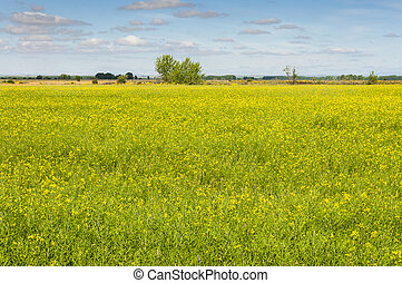 Rapeseed fields in the plain of the River Esla, in Leon...