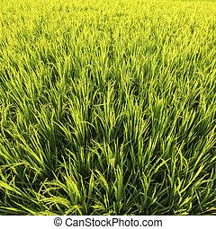 Green rice field in Golden sunlight, closeup