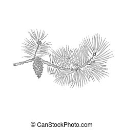 Pine branch with pine cone as vintage engraving vector -...