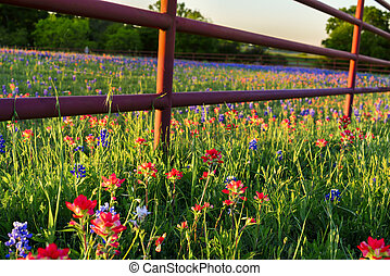 Texas Wildflowers - Texas bluebonnets and Indian...