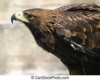 Aquila Chrysaetos - The beautiful and endangered Golden...