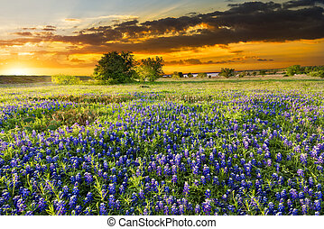 Texas Wildflowers - Bluebonnets  in early morning light