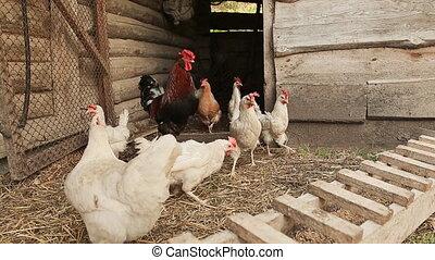White chicken in the village