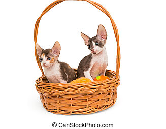 Kittens the breed Cornish Rex in a basket, isolated on white