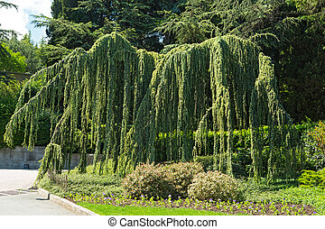 Cedar weeping - Cedrus atlantica, coniferous tree