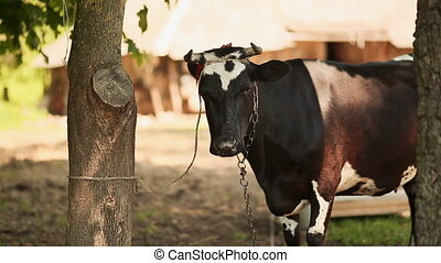 The cow is tied to a tree