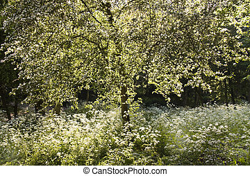 Blooming white tree and Cow parsley in spring with backlight...