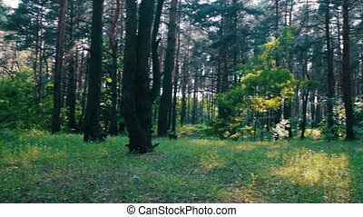 Pine Forest and Trees in Summer with Rotation