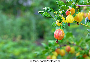 Berries of a ripe gooseberry on a bush