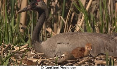 Common Crane with hatchlings