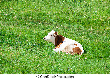 Cow on the field.