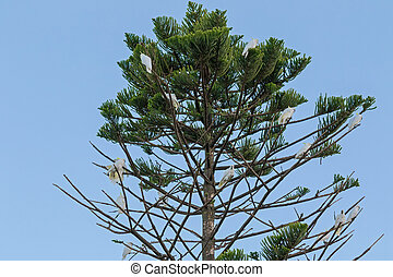 Sulphur crested cockatoo birds perching on pine tree - A...
