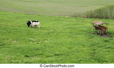 Holstein Friesians cattles - Holstein Friesians cattle breed...