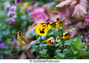 Yellow pansy flowers in the bed flower