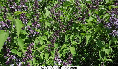Beautiful lilac bush. - Spring flowering of beautiful lilac...