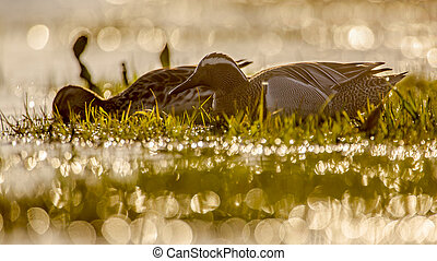 Back lit pair of garganey Anas querquedula in early morning...