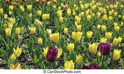 Beautiful flower bed with yellow tulips. Spring flowering.