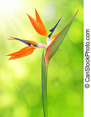 Strelitzia reginae, bird of paradise flower on green natural...