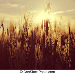 Silhouette of a barley field in sunset