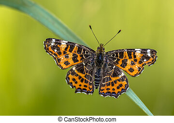Map Butterfly spring brood - Beautiful Wild Map Butterfly...