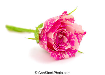 Little pink roses isolated on white