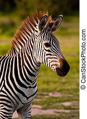 荒野,  zebra