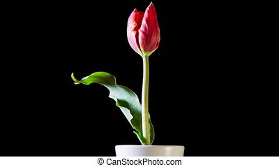 Red Tulip Flower On Black Background - Timelapse of red...