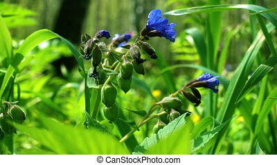 Blooming Lungwort (Pulmonaria), purple spring flowers in the...