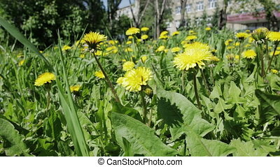 Beautiful overgrown with yellow dandelions Spring flowering...