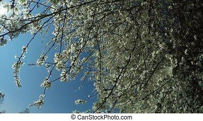 hawthorn in springtime