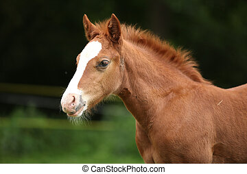 Amazing foal on pasturage - Portrait of amazing chestnut...