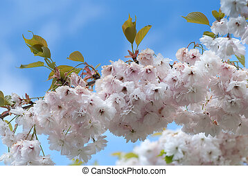 Cherry tree blossom - Prunus yedoensis or Yoshino Cherry...