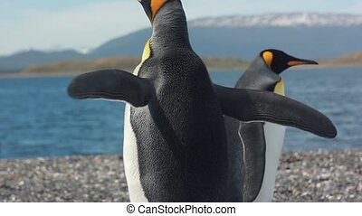 two king pinguins near sea - two king pinguins standing near...