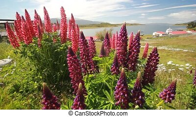 field of lupine flowers in patagonia mountains close-up...