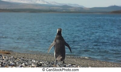 pinguin going to sea - magellan pinguin going to sea and...