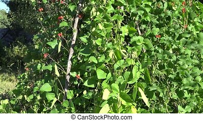 high bean legume plants bush with red blooms and pods...